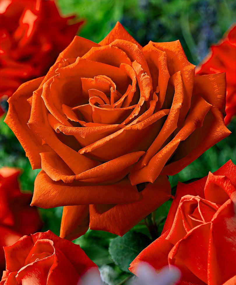 Large Flowered Rose Jamila Roses Bakker Hybrid Tea Roses Flowers Bulb Flowers