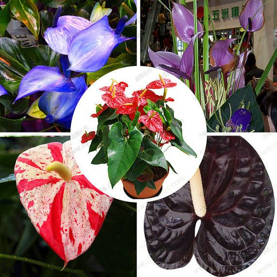 Anthurium Blue Seed Anthurium Andraeanu Seeds Indoor Potted Flowers Anthurium Plant 100 Particles Bag