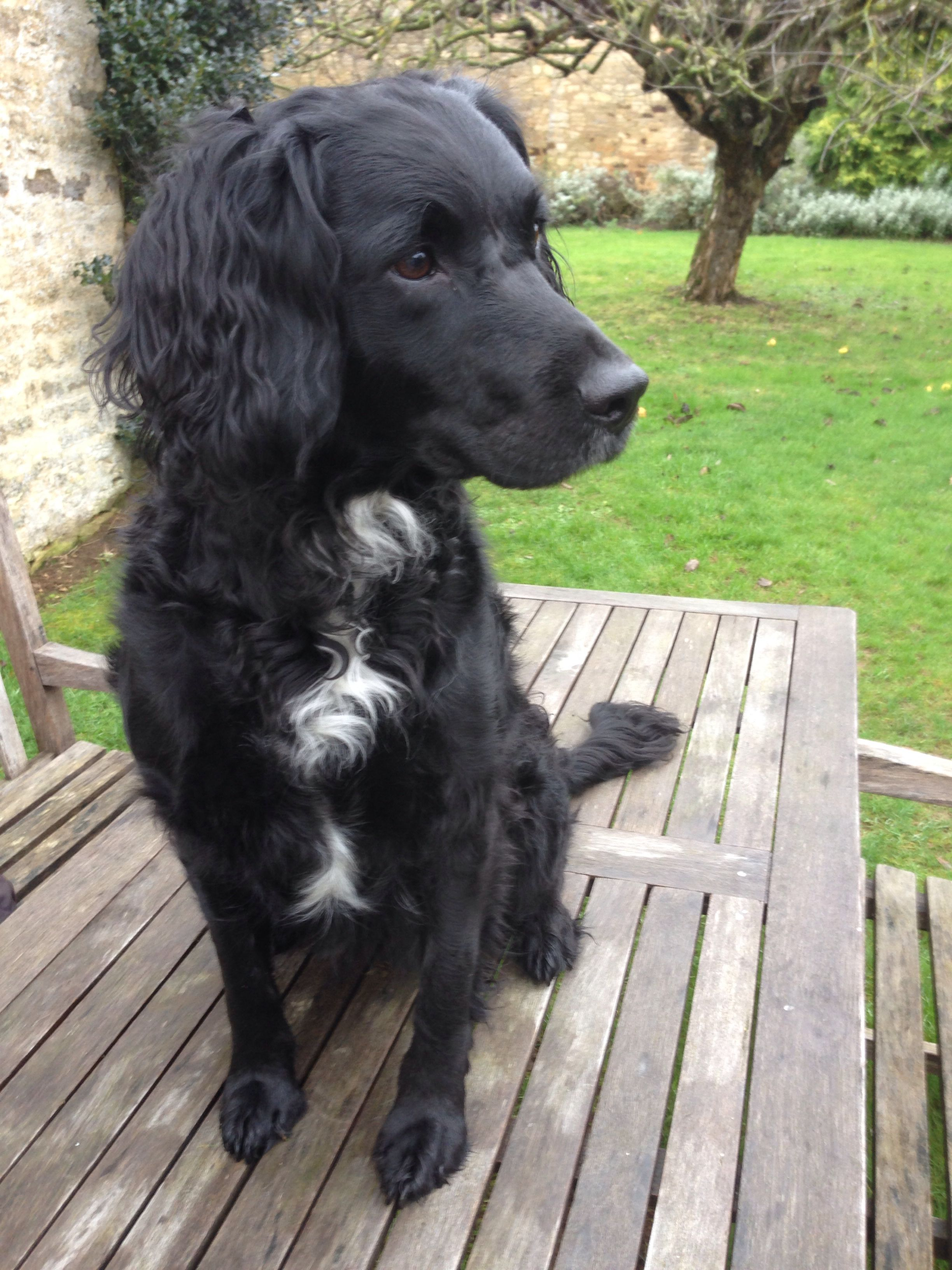 Springer Spaniel Cross Labradoodle Spaniel Puppies Dogs Dogs And Puppies