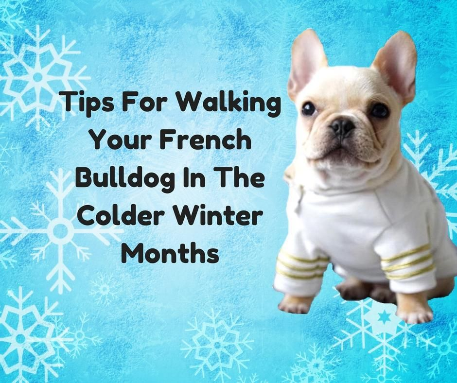 Tips For Walking Your French Bulldog In The Colder Winter Months French Bulldog French Bulldog Names Girl Teacup French Bulldogs