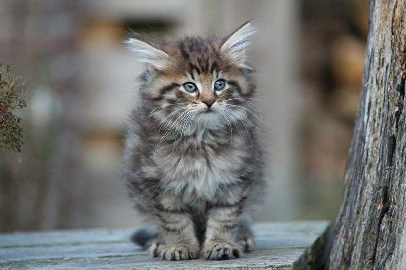 Welp Image result for noorse boskat kitten | cat IJ-58
