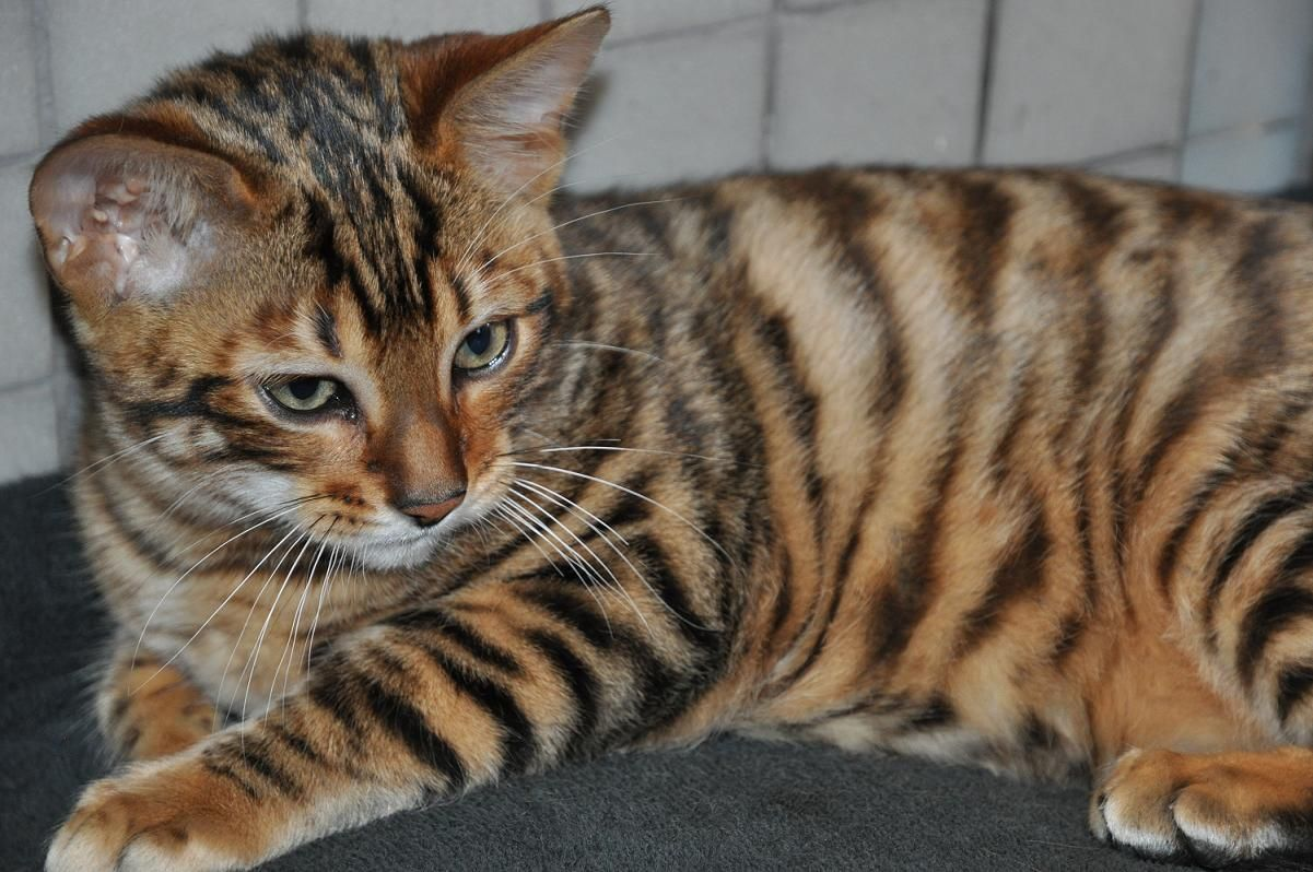 I want a toyger!!!