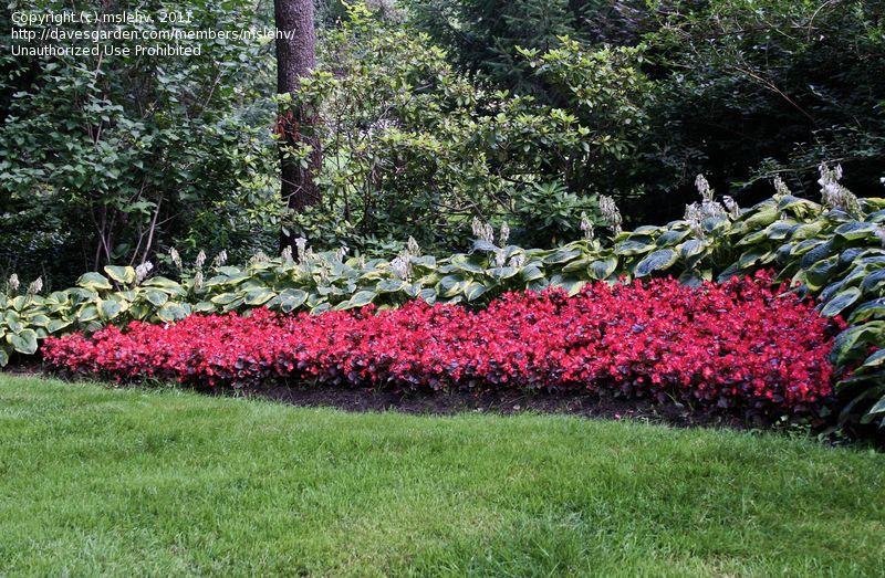 Full size picture of fibrous rooted begonia wax begonia for Wax landscape