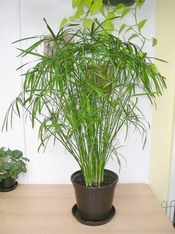 Zyperngras ein Jahr später (Cyperus alternifolius) Lila
