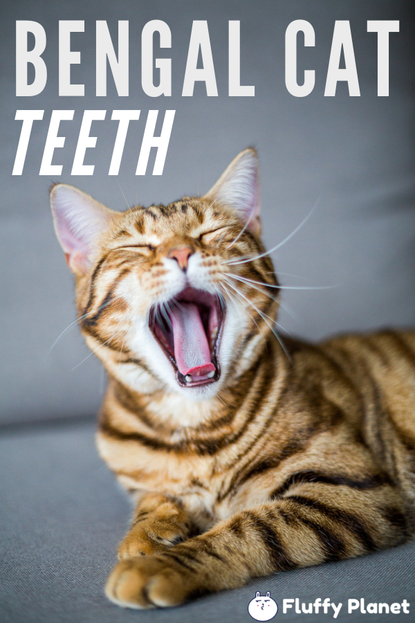 When do Bengal Kittens Lose Their Teeth? [ 2020 ] Bengal