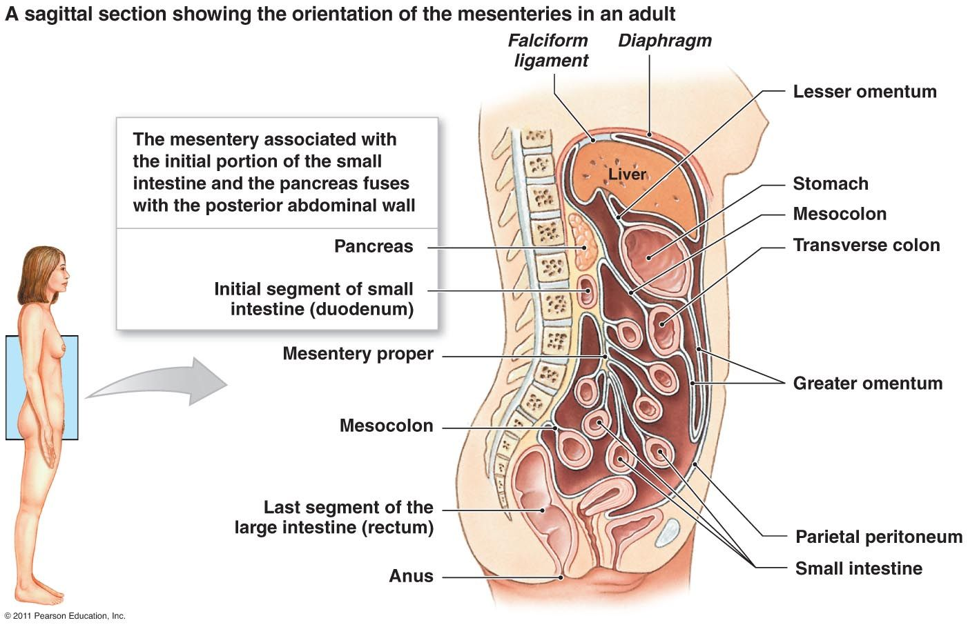 The transverse mesocolon is a broad, meso-fold of peritoneum, which ...