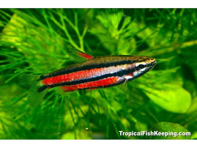 Purple Dwarf Pencilfish (f) Scientific Name: Nannostomus rubrocaudatus