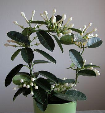 Fragrant Indoor Plant_ Stephanotis floribunda | Living room ...