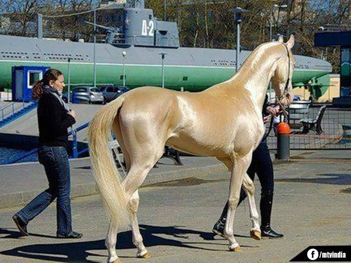 World's Most Beautiful Horse!! YES I'm In Love!!!!!