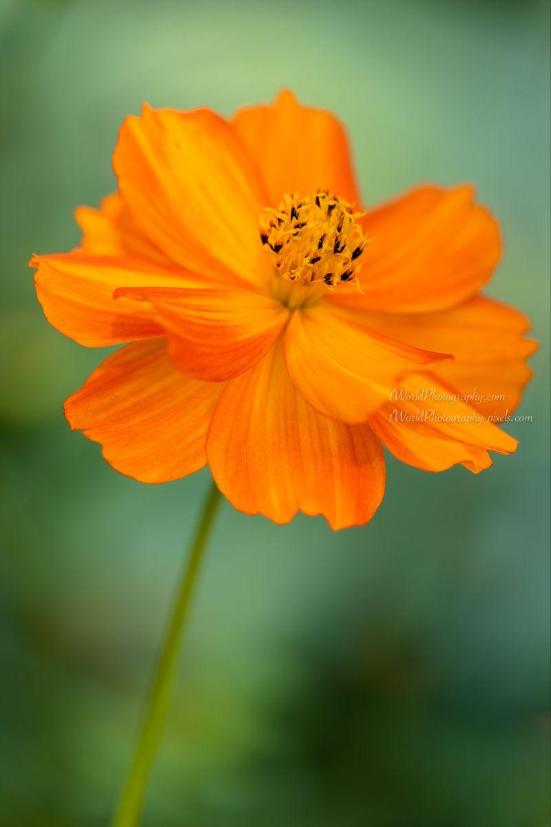 Orange Cosmos Flower By Janice Noto In 2020 Flower Photos Art Flower Aesthetic Flowers