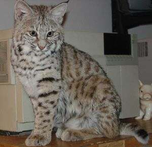 best cats to have as pets