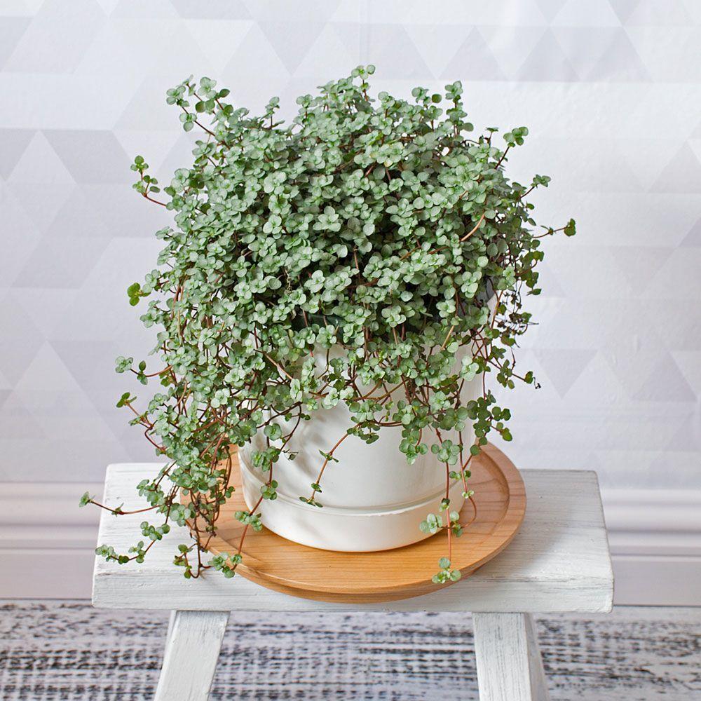 how to display succulents 30 cute examples.htm pilea  aquamarine  plants  indoor plants  buy plants  indoor plants