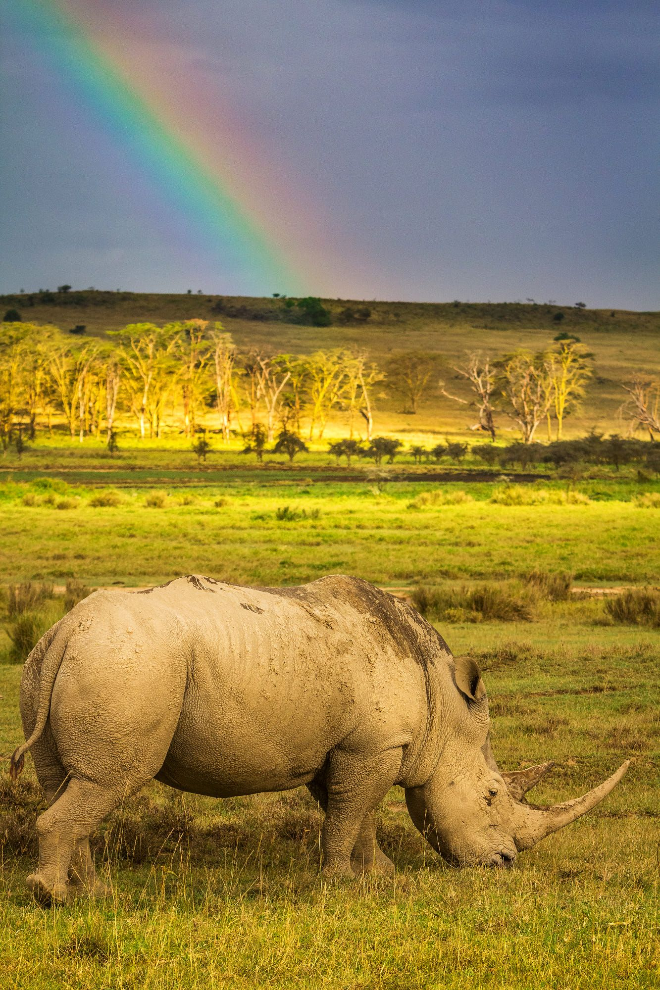 A White Rhino grazing, with a ranbow in the background, in
