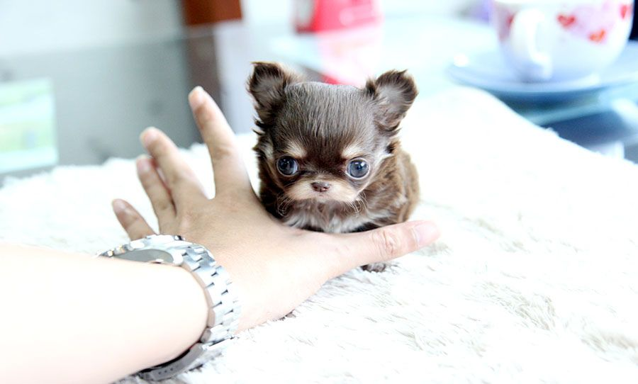 Teeny Tiny Teacup Chihuahua Puppy Chihuahua Puppies Baby