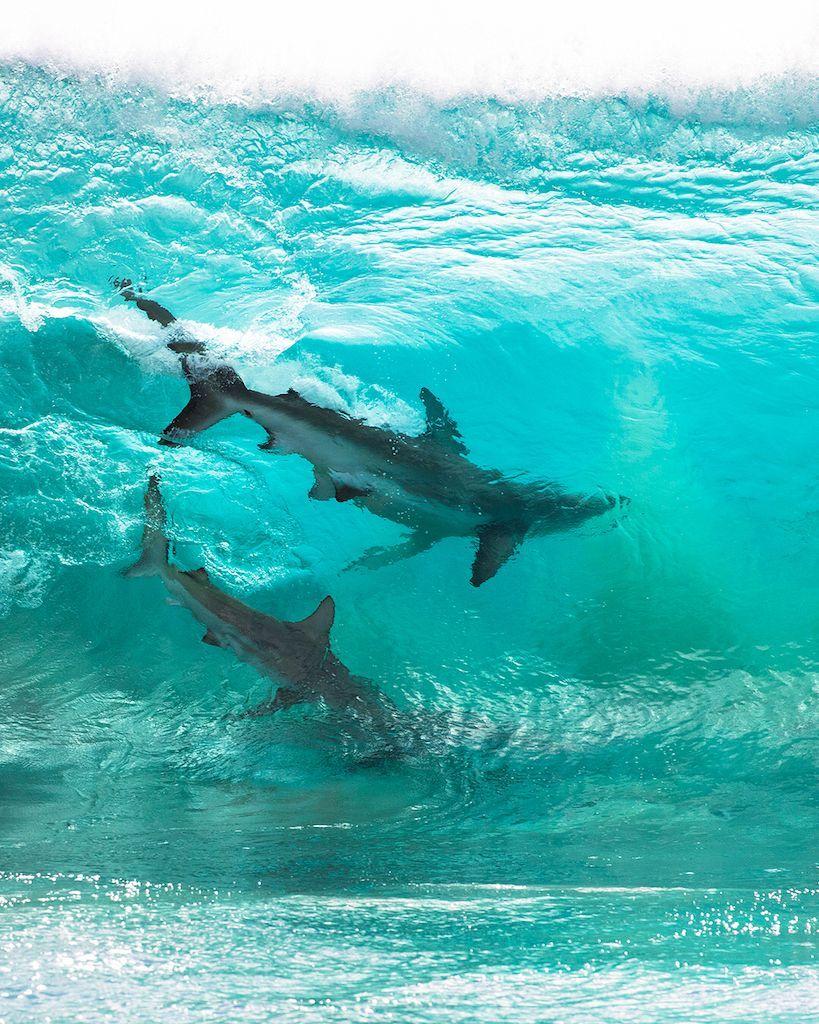 Stunning Photos of Sharks Riding Waves in 2020 Shark