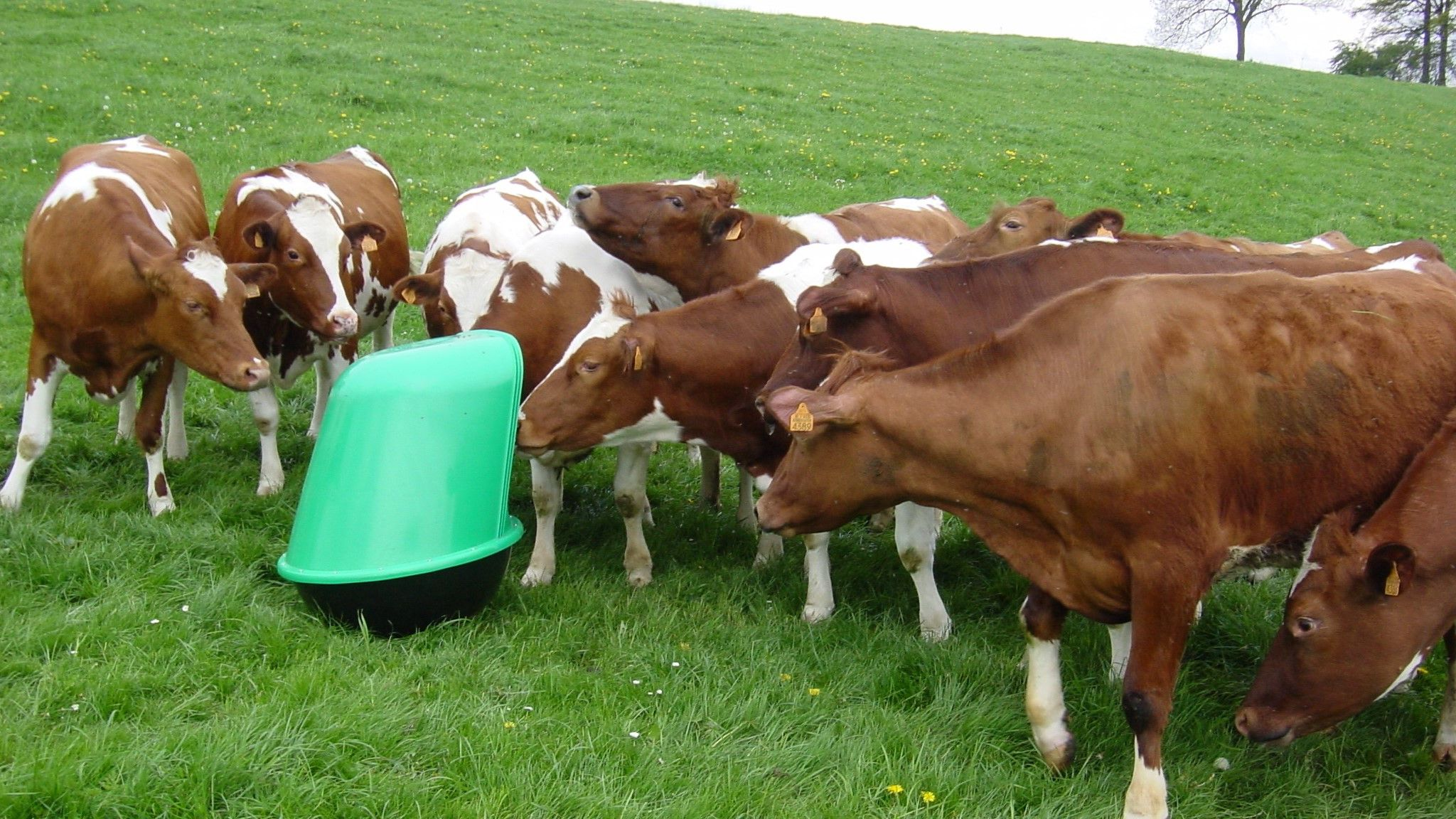5 Cow Wallpapers Farm Animals Grazing With Mineralrocker1
