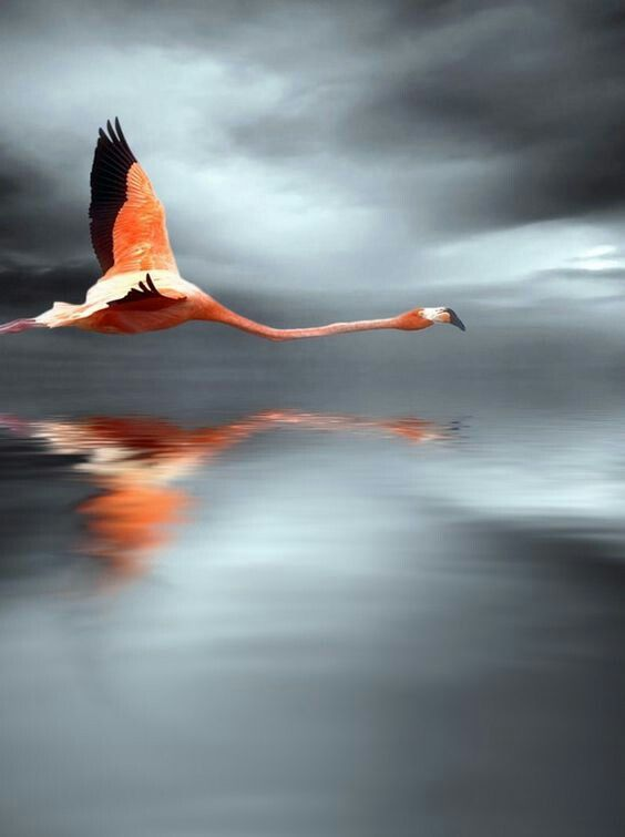 flamingo  vögel im flug bilder fotografie kunst