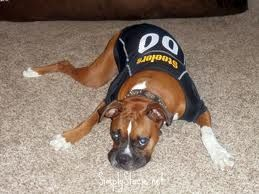d4a4d3fb6 Boxer in a Pittsburgh Steelers pet jersey- Oh yea!!!