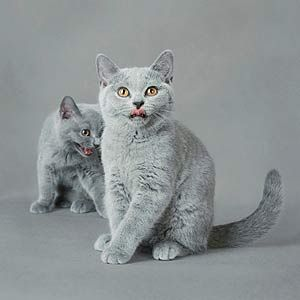 What A Pretty Color British Shorthair Kittens Cats And Kittens British Shorthair Cats