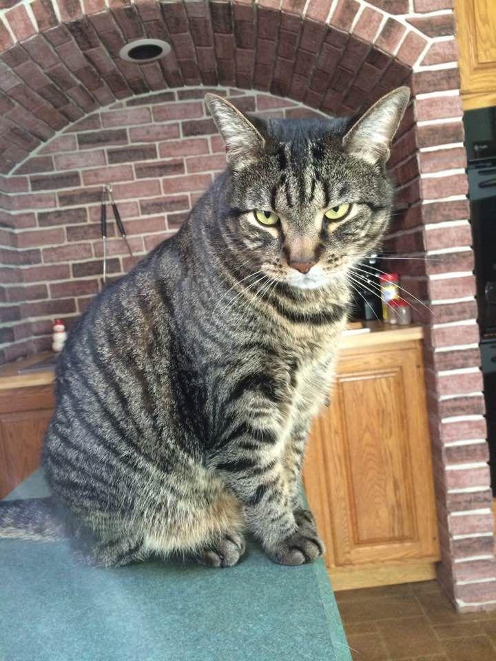 Lost Cat Male Bristol, CT, USA 06010 Cats, Police canine