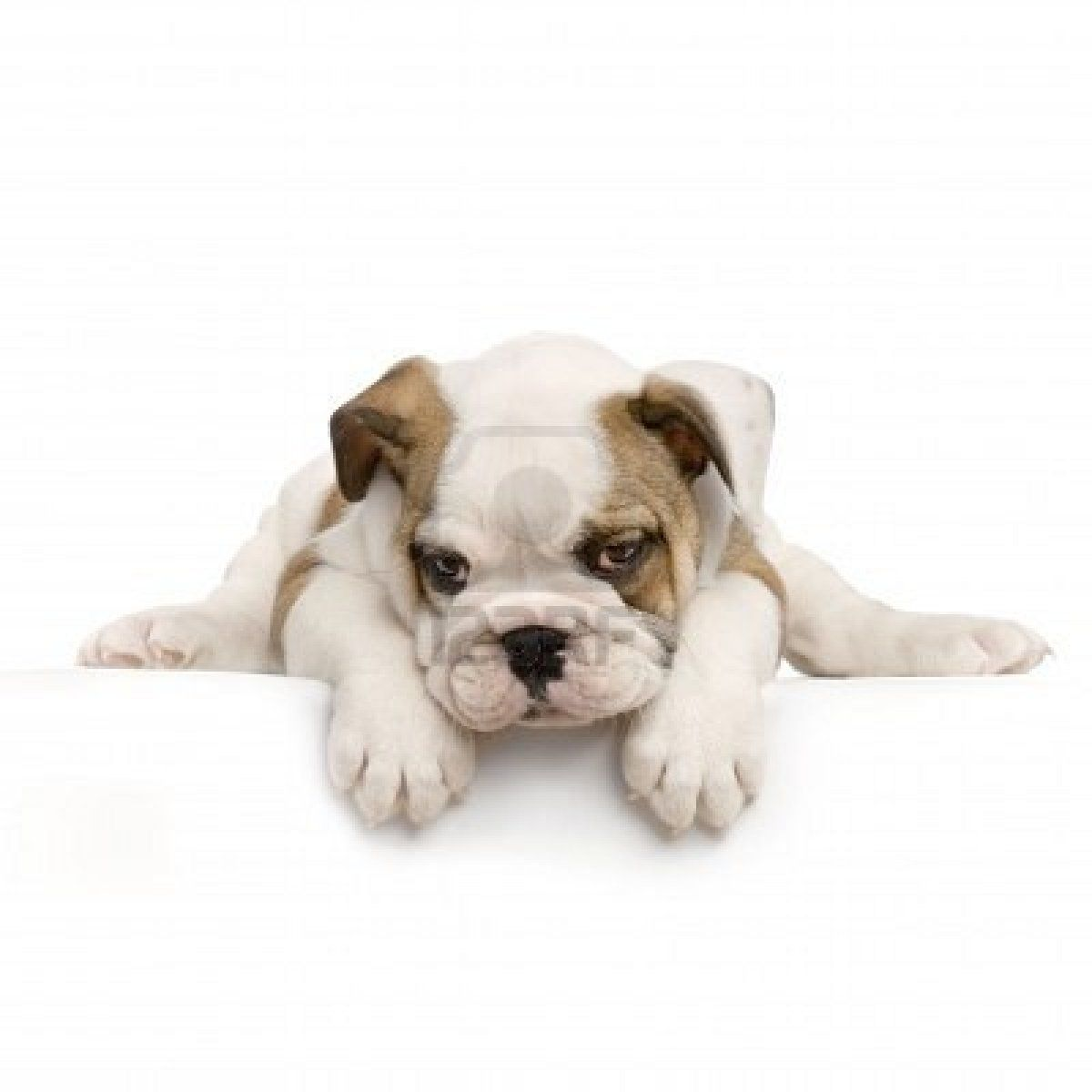 Stock Photo Bulldog Puppies English Bulldog Puppies Cute Puppy