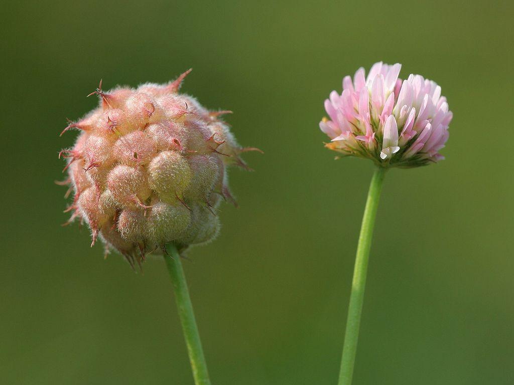 trifolium_fragiferum - aardbeiklaver