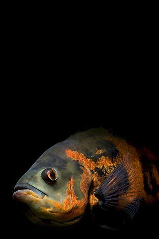 Pin By Angi On B L A C K B O A R D Oscar Fish Fish Wallpaper
