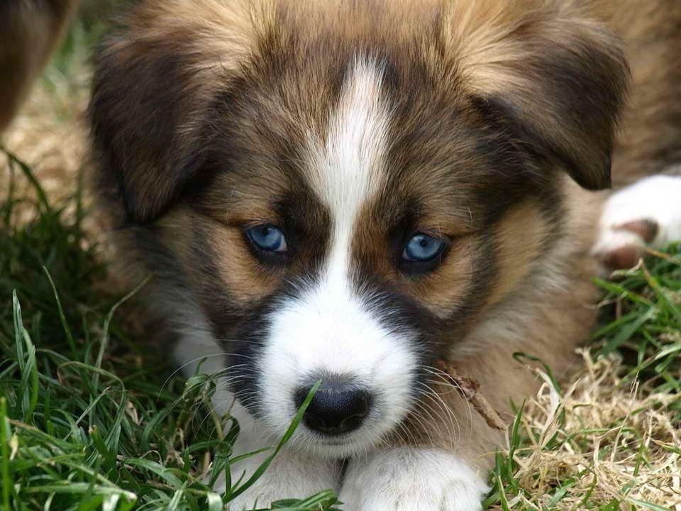 Australian Shepherd Border Collie Mix Puppies For Sale Zoe Fans