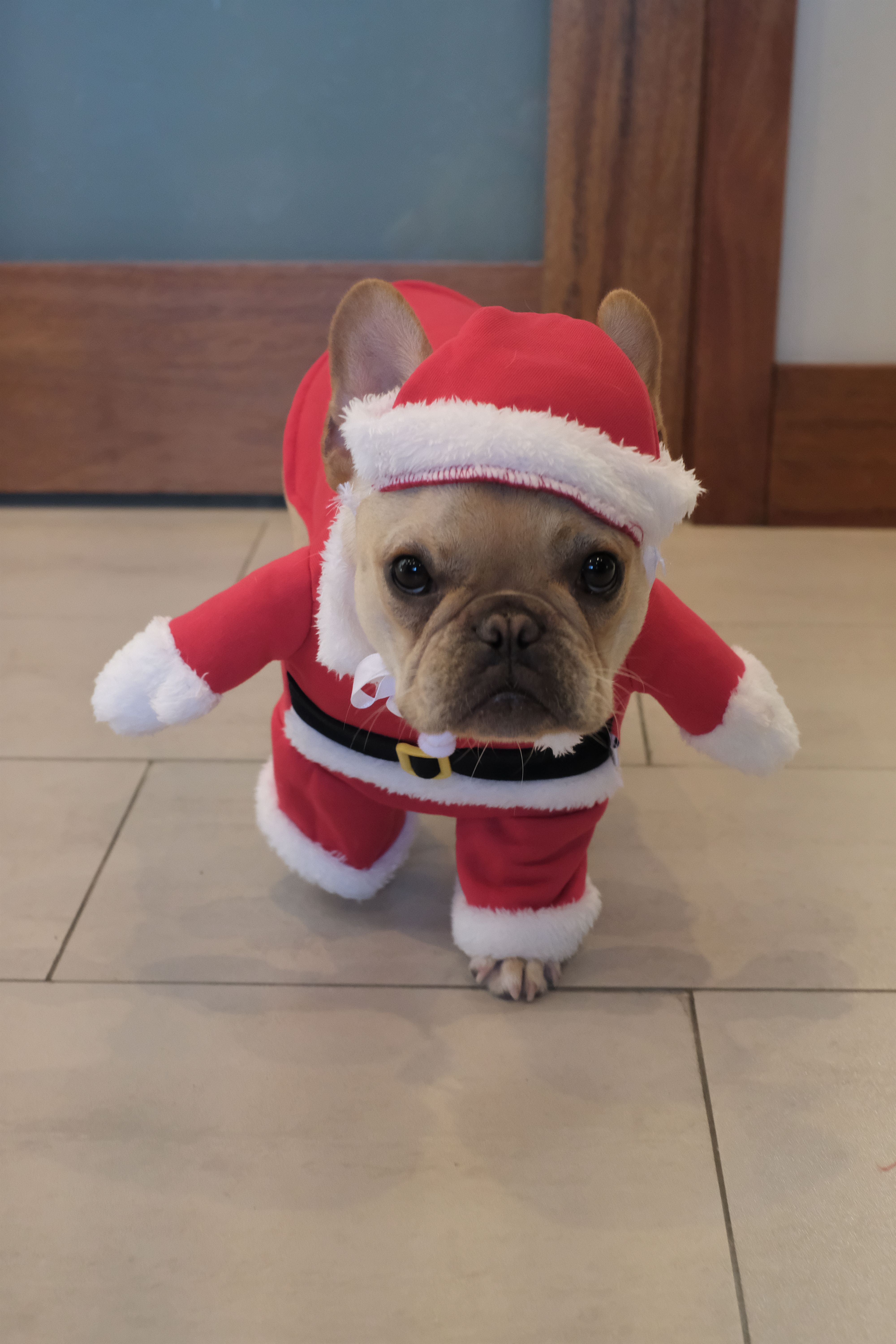 2aa306e0a8df Alfie the French Bulldog in a Santa Suit for Christmas ...