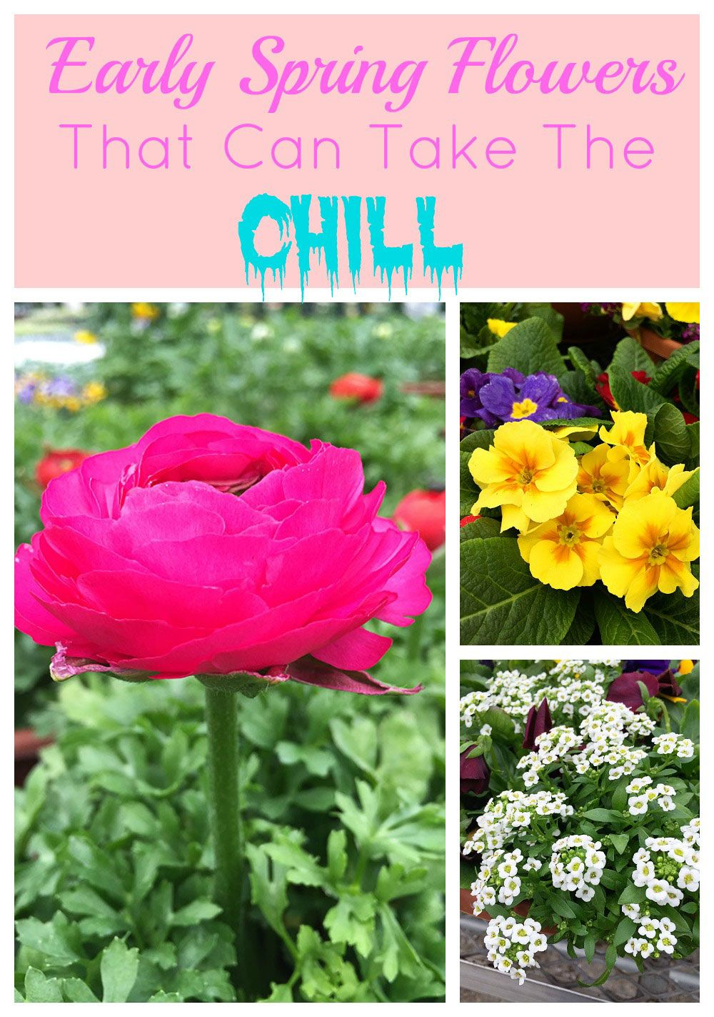 Early spring flowers that can take the chill garden pinterest cold tolerant early spring flowers to plant now and enjoy all spring long these colorful plants can survive a light frost and keep looking great mightylinksfo
