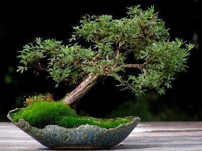 bonsai potentilla
