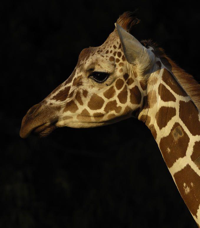 Reticulated Giraffe By Photo Net Photographer Tibor Jager Giraffe Cute Animals Animals