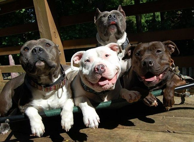 Pit Bulls Make The Worst Type Of Pets Dog Friends Dogs Pitbulls