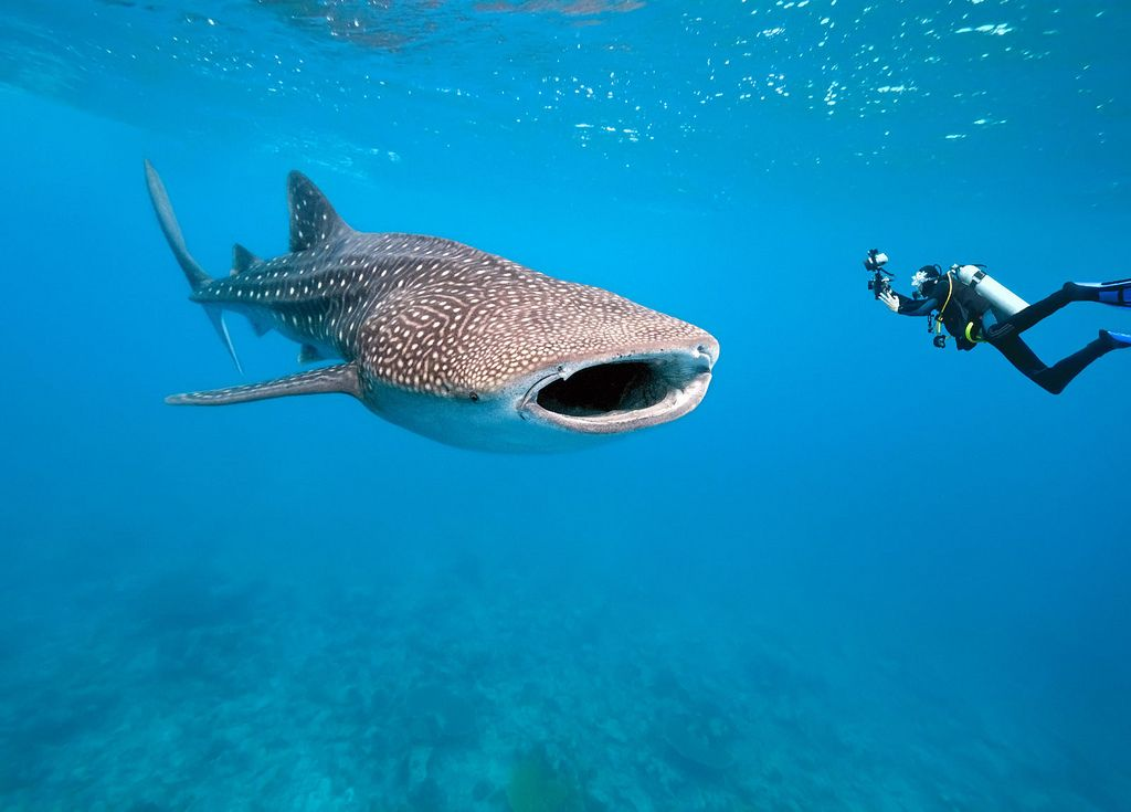 Whale Shark Diving. Photo by: Destination360