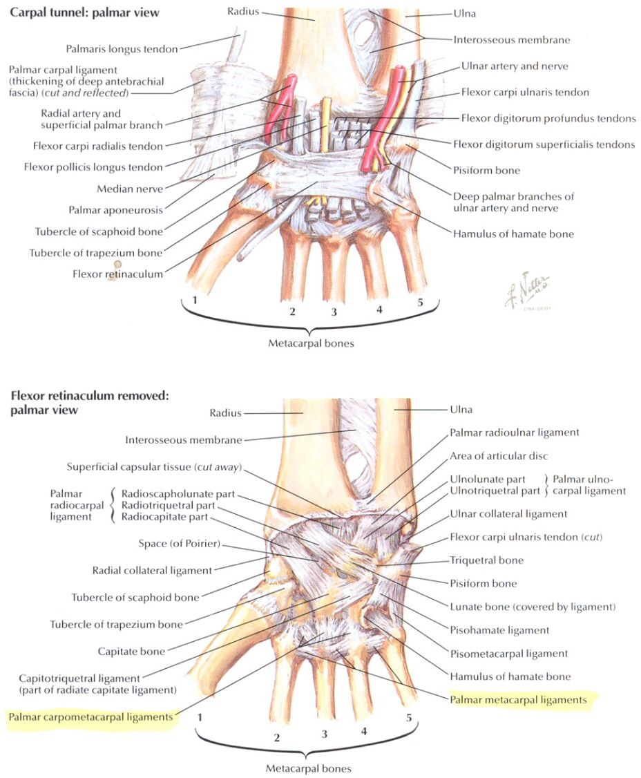 Deep Ligament Of The Palmer Surface Of The Hand Netter Anatomy