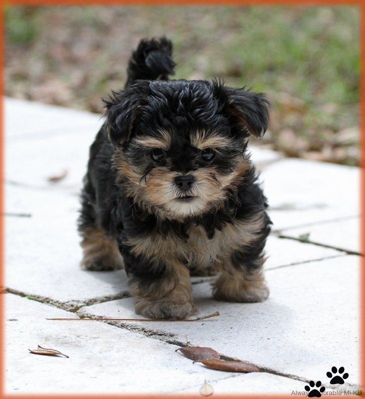 Available Mi-kis   Cute baby dogs, Miki dog, Puppies