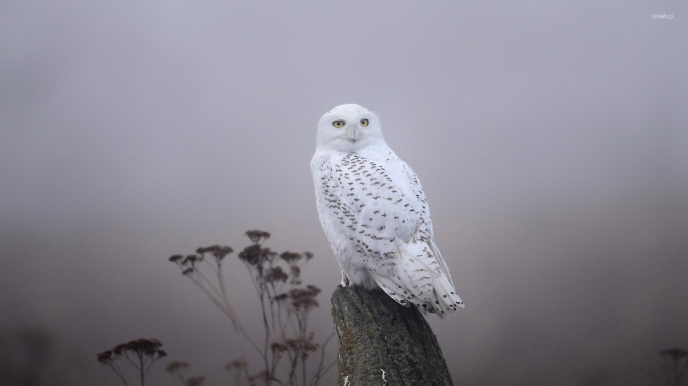 Pin By Yellow Leaf On Birds Of A Feather Owl Wallpaper Snowy Owl Owl Background