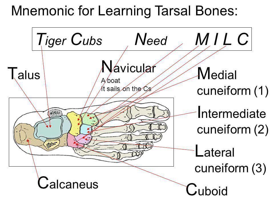 Today\'s mnemonic Basic anatomy-Tarsal bones #nptestudybuddy ...