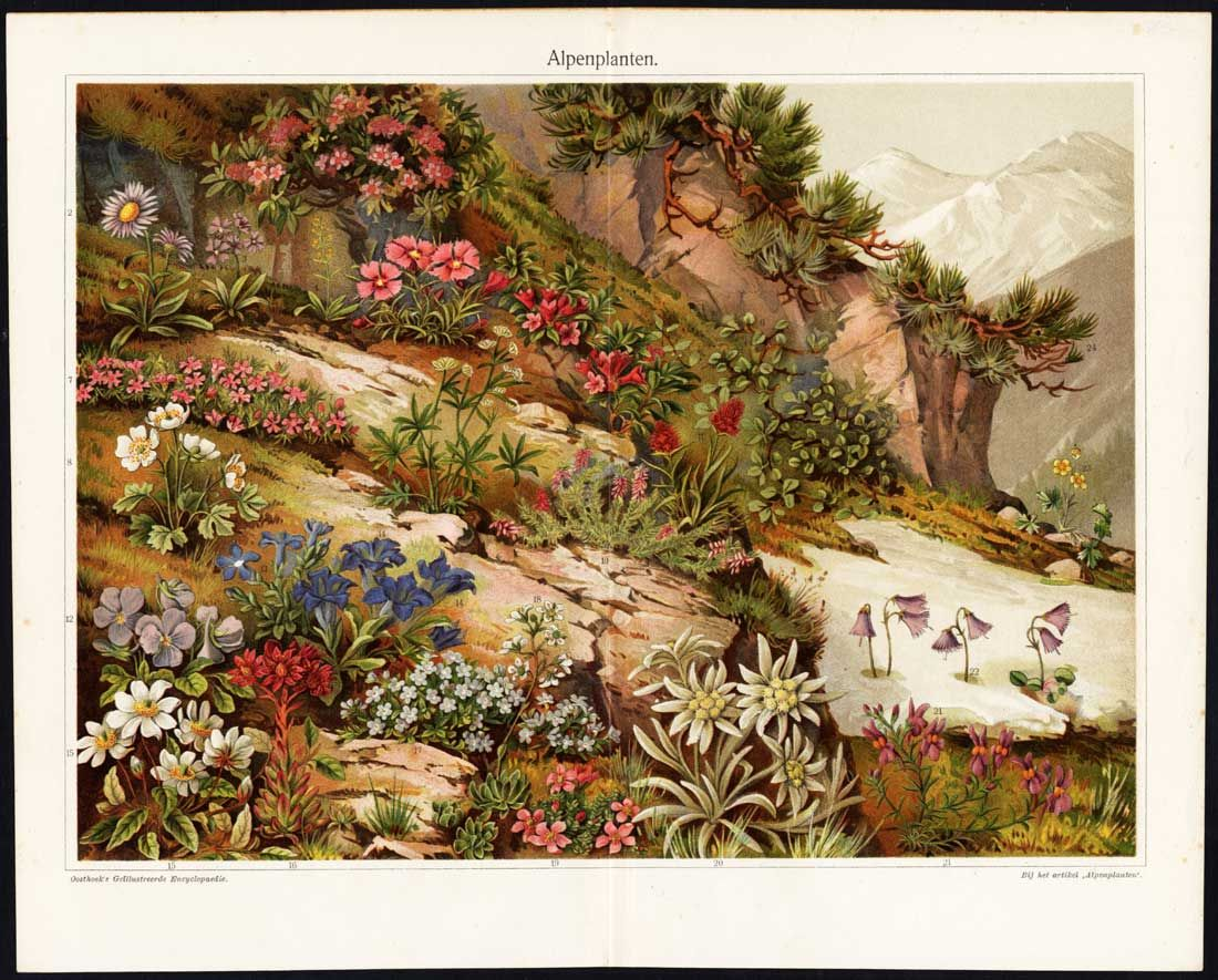 Plants of the Alps | Natural History | Pinterest | Plants