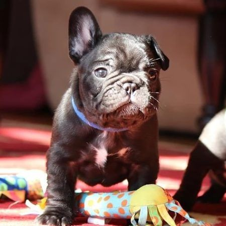 We Provide American Kennel Club S Registered French Bulldog