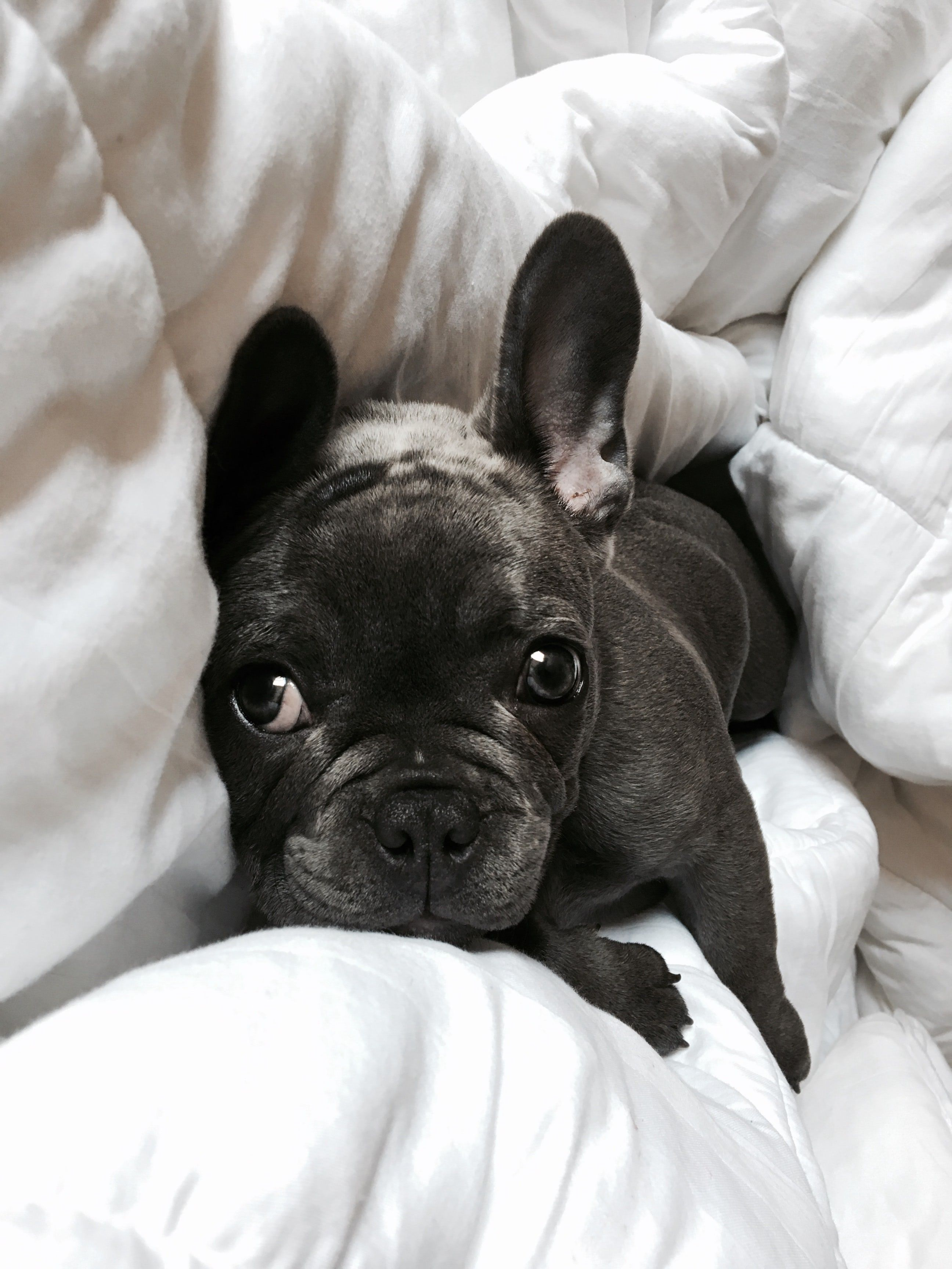 Black Pug Blue French Bulldog Puppies French Bulldog Blue