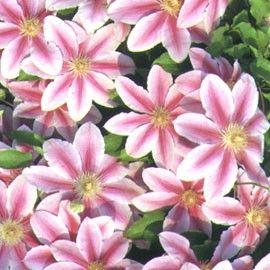 Floraison mai-juin et septembre. Très florifère. Grandes fleurs de ...