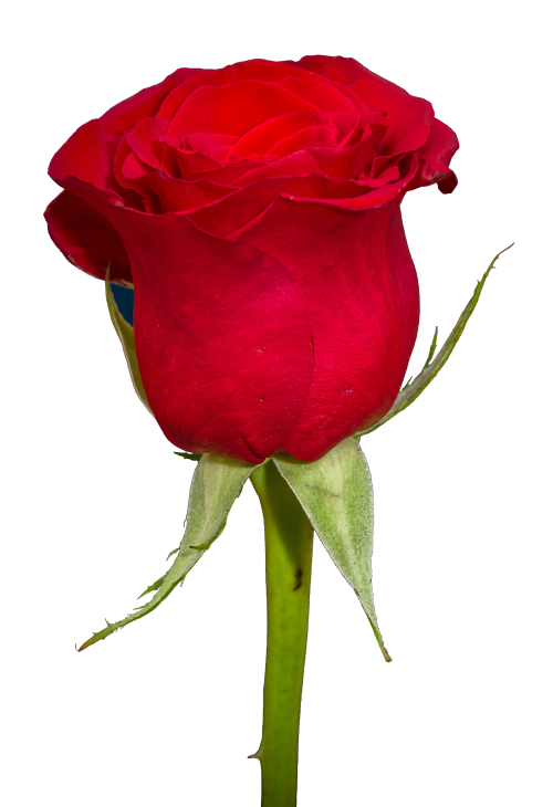 Rose Png Transparent Image Rose Flower Png Flower Png Images Flower Images