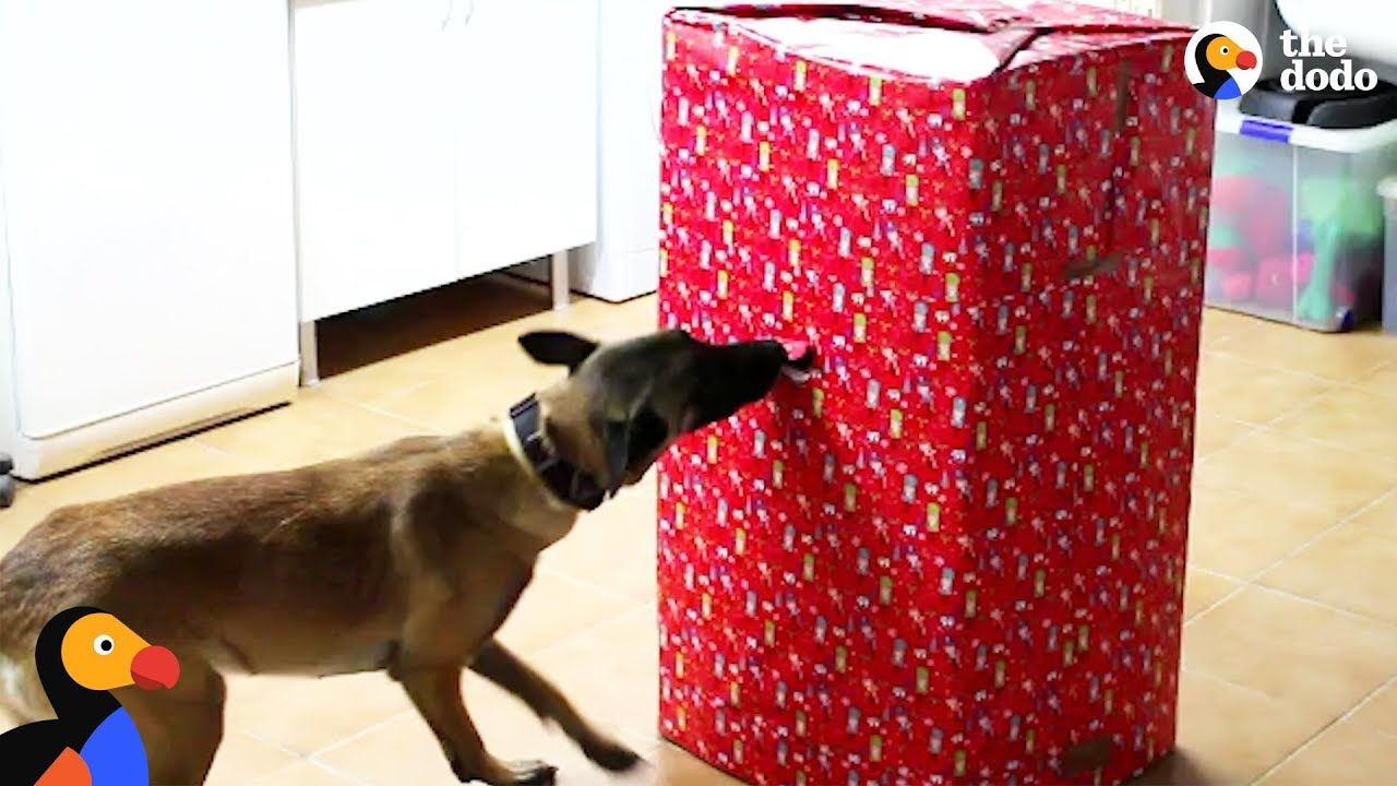 Dogs open best christmas present ever the dodo chiens