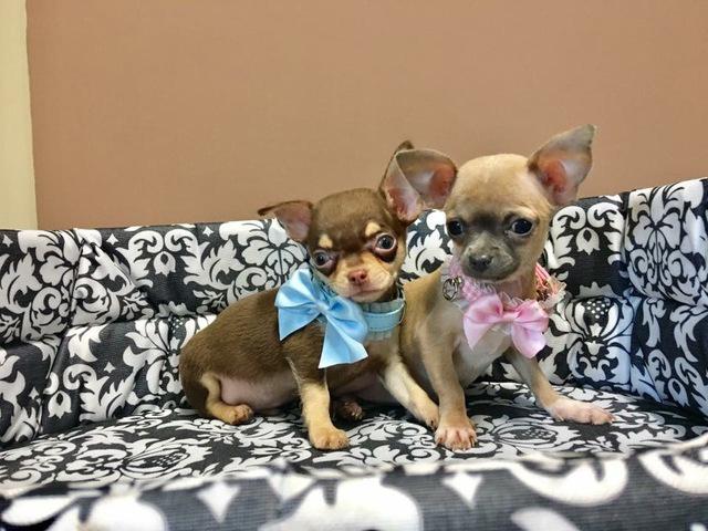 MIL Chihuahua Venta de chihuahuas
