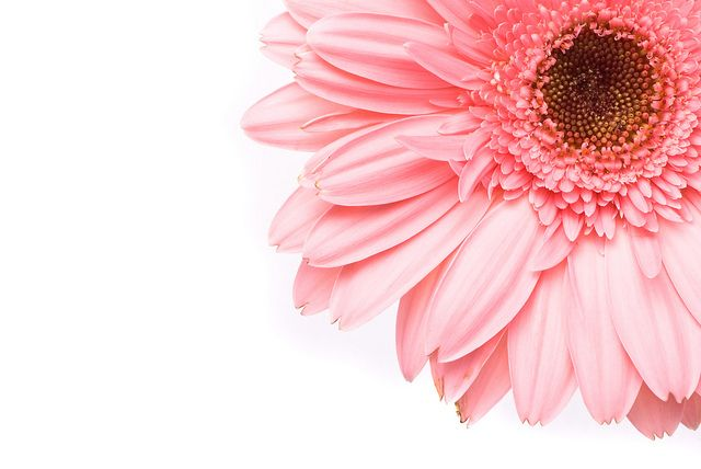Pink Gerbera Flower Pink Flowers Background Flower Backgrounds Gerbera Flower