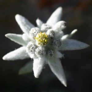 Edelweiss edelweiss every morning you greet me small and white edelweiss edelweiss every morning you greet me small and white clean and bright you look happy to meet me blossom of snow may you bloom and grow m4hsunfo