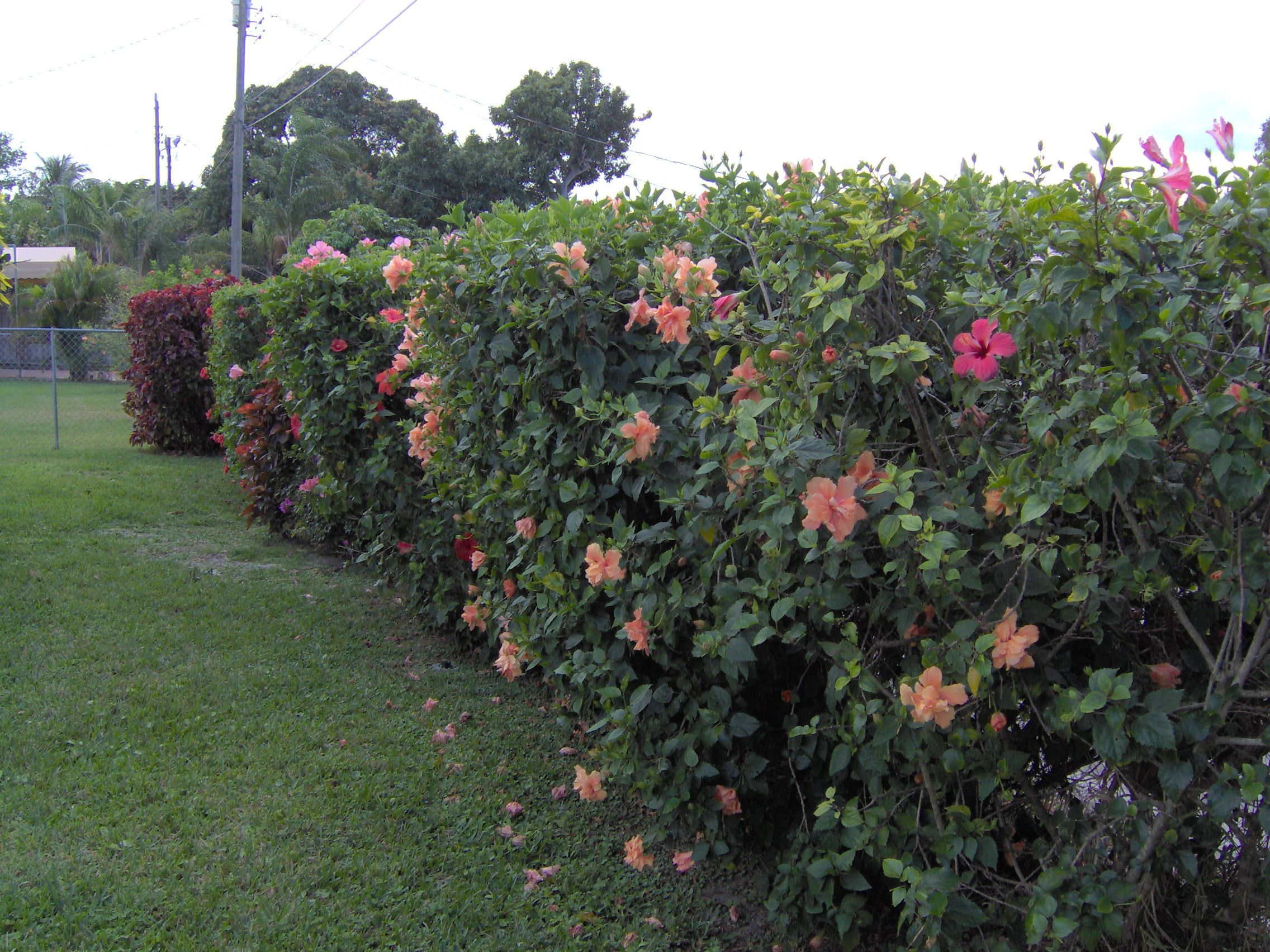 Hibiscus Hedge Such Glorious Privacy Fencing Curb Appeal