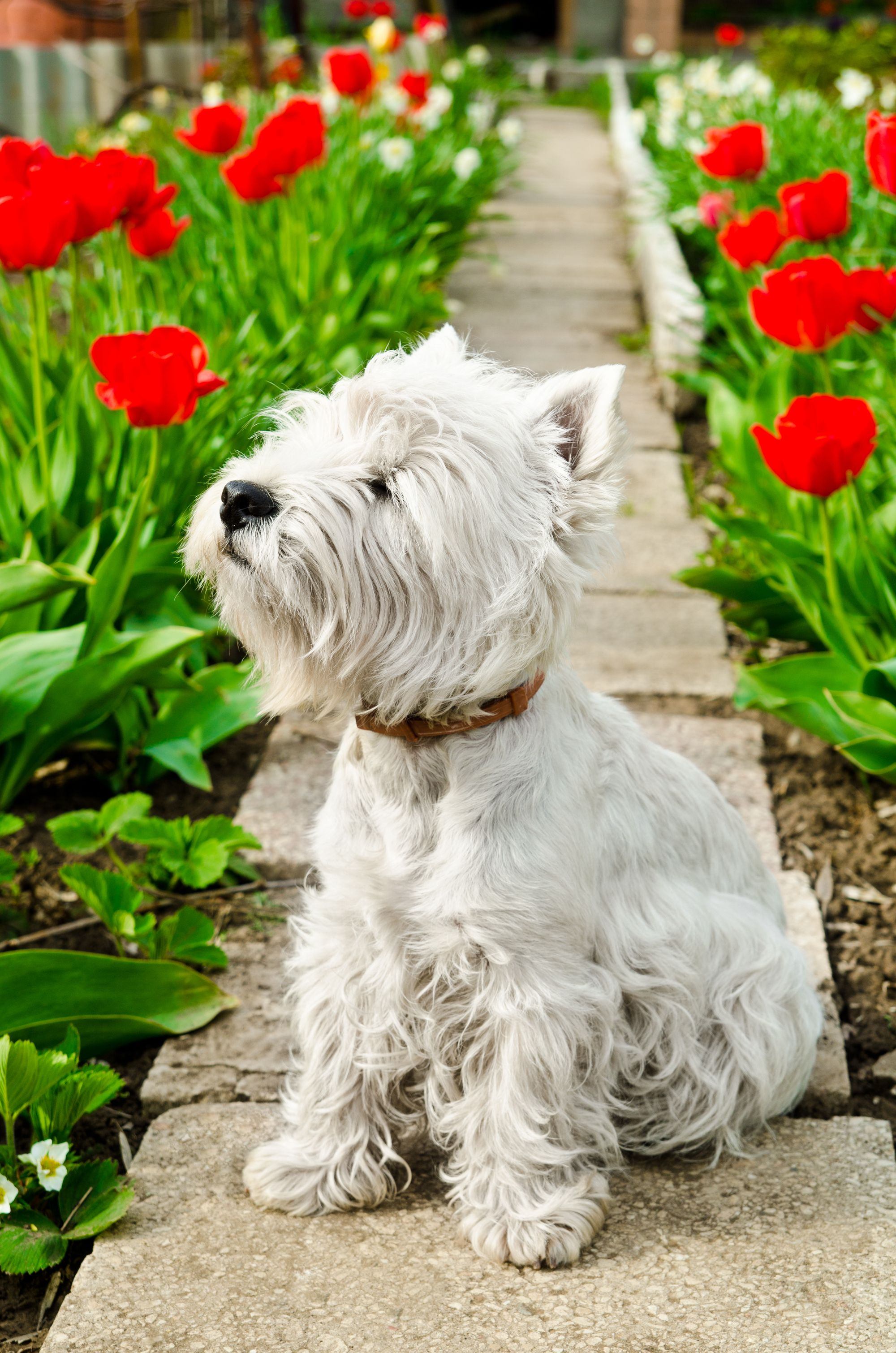 Presents Top 10 Tips For Gardening With Dogs Westies