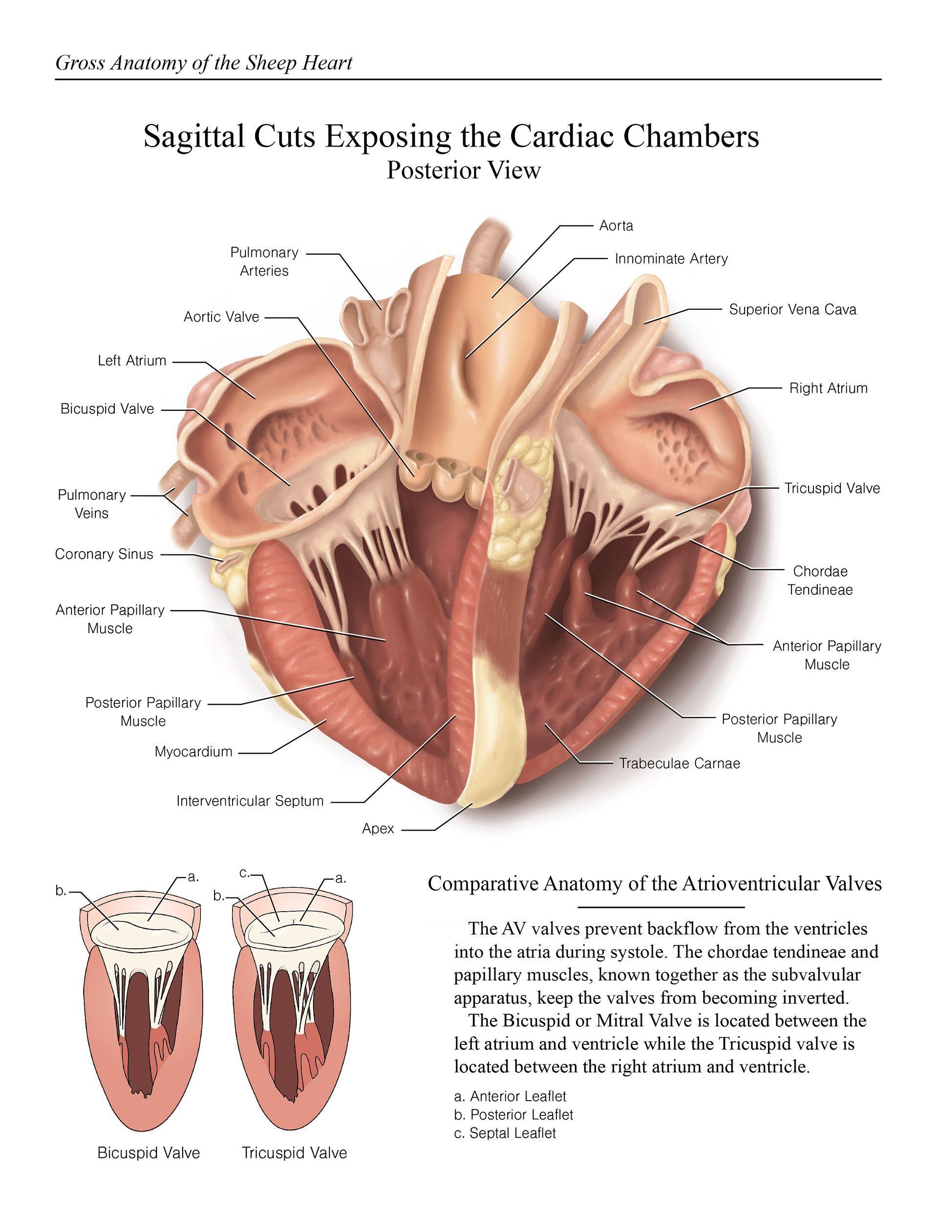 Sheep Heart Dissection Nursingstudents Sheep Heart